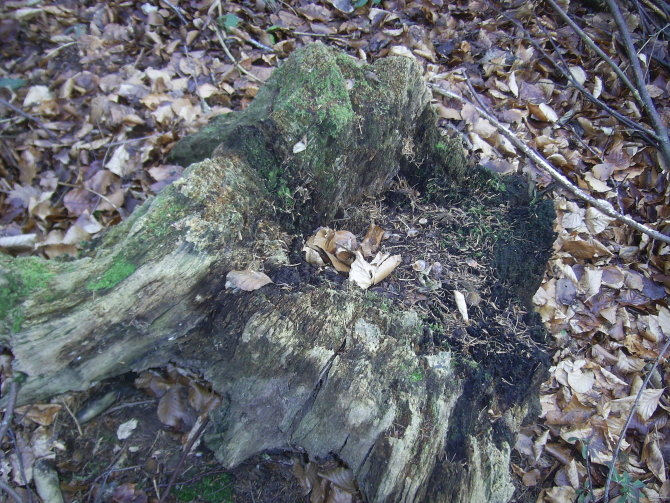 Credenhill tree stump 23.1.17