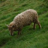 soay sheep- 'wholemeal'