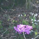 Spring cyclamen