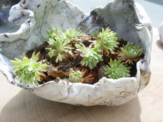 Sedum rocks