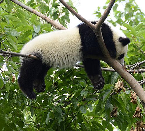Giant Pandas #6