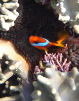 More clown fish