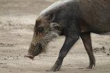 Bearded Wild Boar
