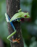 Red Eyed Gaudy Leaf Frog