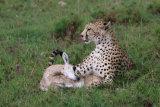 Cheetah with younhg gazelle kill