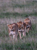 Three lionesses out hunting