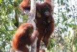 Female, infant and Juvenile Orangutan