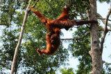 Orangutan acrobatics. Juvenile determined not to leave mother