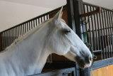 Lippizaner horse, Lipica, Slovenia