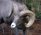 Bign Horn Sheep