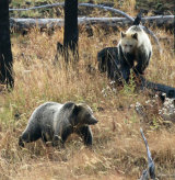 Female Grizzly Bear and juvenile cub