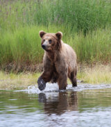 Brown Bear (Grizzly) at Brooks Lodge