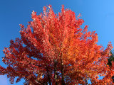 Flame red maple