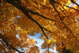 Glorious Gold Maple