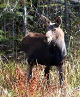 Female Moose near Rangeley, Maine
