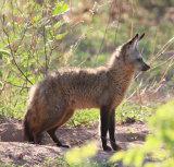 Bat Eared Fox