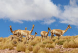 Vicuna & young near Lago Miscanti