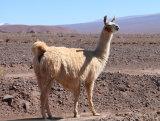 Llama, Atacama Desert