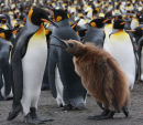 King Penguin & juvenile