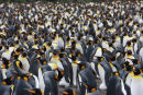 King Penguins galore