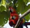 Scarlet Macaws mating pair