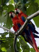 Scarlet Macaws together