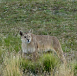Female PUMA - such a lucky sighting
