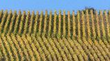 Golden vineyards in autumn, Joigny