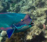Male Parrot fish
