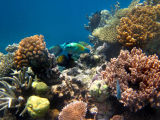 Coral Reef scene : Great Barrier Reef