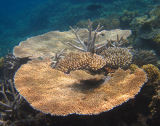 Fan & staghorn coral