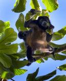Howler monkey + infant