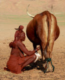 Himba milking cow