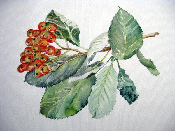 Hornbeam, watercolour