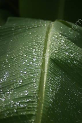 Banana leaf Trinidad