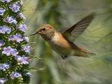 Annas Hummingbird 4