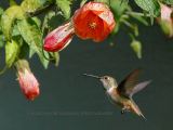 My first hummingbird picture