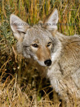 A Coyote in Yellowstone National Park