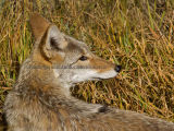 A Coyote on guard