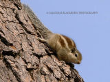Indian Three Striped Palm Squirrel