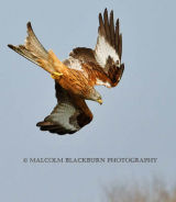 Red Kite in a dive