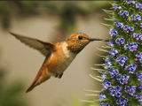 Allen's Hummingbird 2