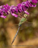 Female Green Darner in California