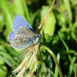 Adonis Blue Cotley Hill (2/2)
