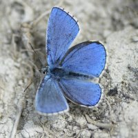 Adonis Blue Cotley Hill 09 06 2015