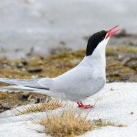 Arctic Tern - Ny-Alesund, Spitsbergen (1/2)
