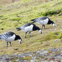 Barnacle Geese - Ny Alesund, Spitsbergen