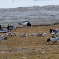 Barnacle Geese -Longyearbyen, Spitsbergen