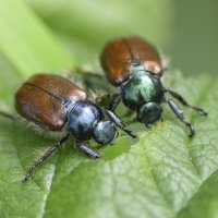 Beetles Cotley Hill 09 06 2015
