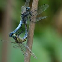 Black tailed skimmers Majorca (2/2)